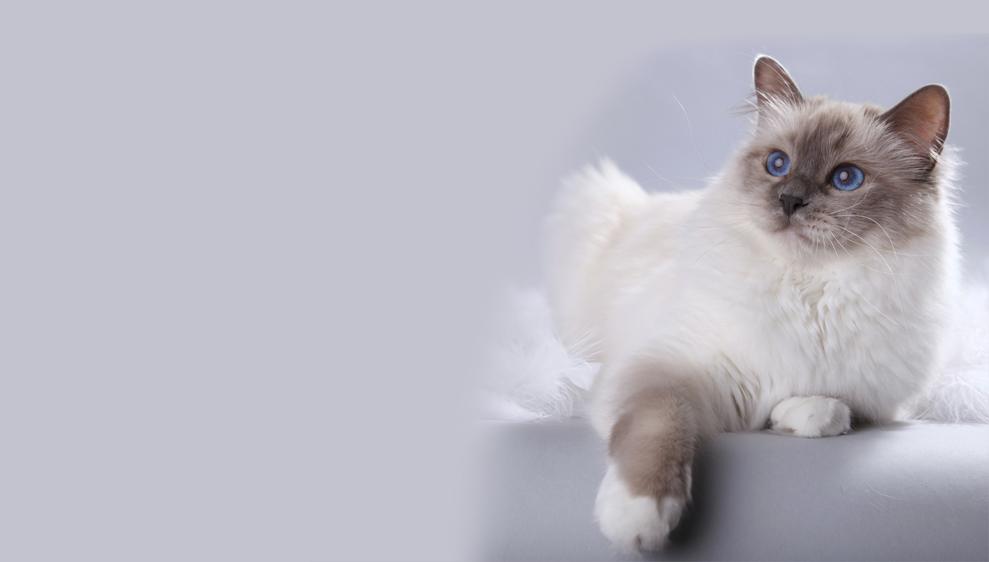 Kelulah S Malak Heilige Birma Katzen
